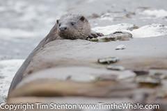 European Otter (Lutra lutra) 20 Feb-16-3154 (tim stenton www.TimtheWhale.com) Tags: wild mammal scotland highland otter inverness mustelid morayfirth beaulyfirth lutralutra commonotter notcaptive northkessock lutrinae europeanotter landmammal eurasianotter