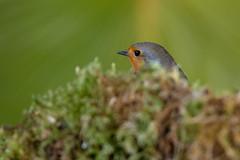 "Petirrojo ""Erithacus rubecula"" (alimoche67) Tags: barcelona espaa naturaleza fauna minolta sony flash aves hide alpha catalua slt comedero strobist translucentmirror josejurado"