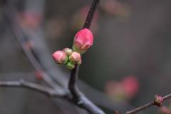 41/365 awakening (simo m.) Tags: pink spring blossom bokeh 365 proyect fiore floer