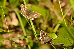 Pyrgus malvoides (Elwes & Edwards, 1897) (Jess Tizn Taracido) Tags: lepidoptera hesperiidae pyrginae hesperioidea pyrgusmalvoides
