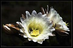Dama de la noche (antoniocamero21) Tags: cactus color noche foto minolta dama