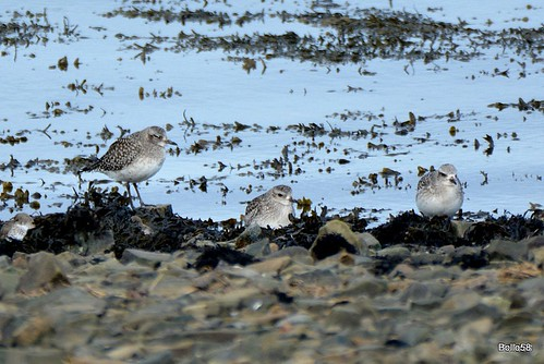 Grey Plovers - RSPB Isley Marsh 16-02-2016 12-23-00