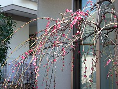#6770 Japanese apricot, pink (紅梅) (Nemo's great uncle) Tags: flower flora 花 ume prunus 梅 japaneseapricot 紅梅 サクラ属