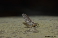 Baetis rhodani di fine febbraio (subimago female) (Roberto PE) Tags: ephemeroptera baetis rhodani