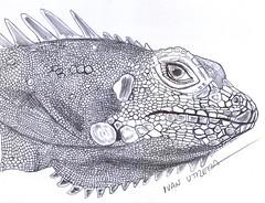 iguana a lapicero (ivanutrera) Tags: animal pen sketch drawing iguana draw dibujo ilustracion reptil lapicero boligrafo dibujoalapicero dibujoenboligrafo