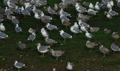 Goland pontique - Larus cachinnans (Yann Brilland) Tags: gulls oiseau mouette goland laruscachinnans golandpontique oiseaumarin avifaune larids