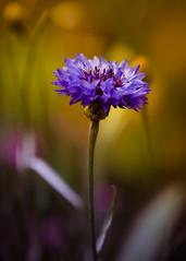 The Purple One (c_slavik) Tags: blur flower color art nature beautiful beauty canon outdoors flora purple bokeh fine 70200