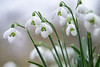 Snowdrops (1/4) (.mushi_king) Tags: flowers closeup bulb spring fuji nt snowdrops nationaltrust snowdrop angleseyabbey 500d diopter 56mm dioptre