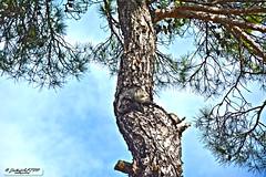 A Pine (zulkifaltin) Tags: tree green nature pine village earth hill am aa tepe keleki