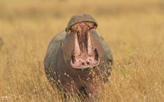 Hippo (Christian Sanchez Photography) Tags: africa wild animal wildlife wildanimal hippo pantanal sudafrica wildphoto wateranimal afraca