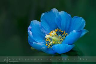 Himalyan Blue Poppy