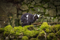 Cheddar Goat (Myrialejean) Tags: cliff white black green animal rock fauna beard grey climb moss nikon outdoor young goat ears somerset ledge twig gorge horn hoof bovidae ungulate cheddar greed mamal cheddargorge ruminant chordata cloven bovid d7200