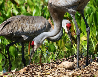 Pair of Sandhill Cranes on Nest With 2 Eggs