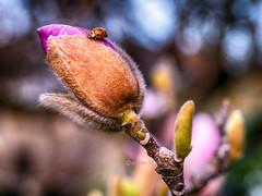 Marienkfer -  ladybird (achim-51) Tags: macro nature bokeh outdoor natur pflanze natura panasonic magnolia ladybird tier frhling knospe marienkfer magnolie panasoniclumix leicadgmacroelmarit panasonicdmcg5