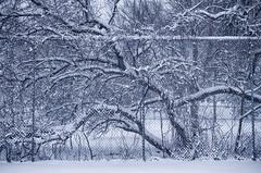 Undercover Spring (flashfix) Tags: april062016 2016 2016inphotos nikon d7000 nikond7000 ottawa ontario canada 40mm winter spring tree fence tenniscourt lines chaotic busy nature mothernature weather textures urbanjungle flashfix flashfixphotography