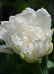 Mondial double early tulip (Niki Gunn) Tags: flowers flower macro pentax tulip april tamron 90mm k5 mondial tamron90mm doubletulip 2016 tamron90mmf28 tamron90mmmacro tamronspaf90mmf28