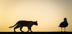 friends? (krøllx) Tags: africa street light sunset shadow bird nature animals backlight cat lights sundown seagull streetphotography silhouettes morocco essaouira marokko solnedgang mainsquare scalatheport dsc04347201603081