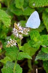 Celastrina argiolus (Linnaeus, 1758) (Jess Tizn Taracido) Tags: lepidoptera lycaenidae papilionoidea polyommatinae celastrinaargiolus polyommatini