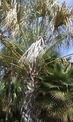Sonoran Palm(etto) (sftrajan) Tags: botany botanicgarden botanicalgarden palmera jardinbotanico jardinbotanique botanischergarten arecaceae botanischetuin sonoranpalm sabaluresana universityofcaliforniabotanicalgardenatberkeley universityofcaliforniabotanicgarden sonoranpalmetto