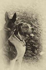 Dogs (nilarii) Tags: old portrait dog dogs animal nikon outdoor hund tier d5000 sepiaefex