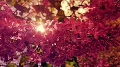 20160417_144855 (pepa kostova) Tags: flowers sea beautiful garden spring bulgaria vulgaris varna syringa