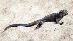 Punta Carola, San Cristbal, Galapagos (ser_is_snarkish) Tags: galapagos marineiguana sancristbal puertobaquerizomoreno puntacarola