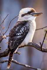 GRS20160424 00012-131 (glennsmith3) Tags: bird au australia newsouthwales kookaburra mountannan