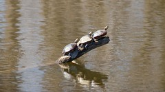 840A3092 (rpealit) Tags: nature water river scenery wildlife trail turtles national waters winding limb refuge wallkill