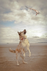 Not a hope (liz stowe) Tags: sea dog beach dogs clouds seaside jumping sand action seagull