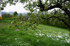 Bressanone (Luciana.Luciana) Tags: prato altoadige brixen bressanone ciliegio neveschnee sudtirol