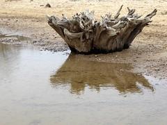 Covehithe + Benacre (little_auk) Tags: trees beach coast suffolk benacre covehithe