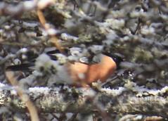 Pyrrhula pyrrhula  male fringillidae (BSCG (Badenoch and Strathspey Conservation Group)) Tags: sd bf