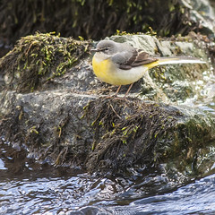 mountain stream (blackfox wildlife and nature imaging) Tags: wales canon 350d wildlife loggerheads wagtail greywagtail canon400mml