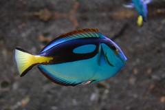 Palette Surgeonfish (Paracanthurus hepatus) (Seventh Heaven Photography) Tags: blue fish water island asia underwater pacific royal malaysia hippo langkawi pulau regal underwaterworld tang palette kedah surgeonfish flagtail paracanthurushepatus penguinwatch nikond5200
