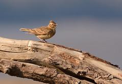 Skylark (Severnrover) Tags: bird spring singing song skylark