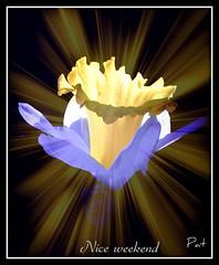 Lightfull (patrick.verstappen) Tags: flower texture garden march photo yahoo google nikon flickr belgium pat sigma daffodil colored textured narcis facebook picassa spri twitter gingelom ipernity delightfull d7100 lightfull pinterest ipiccy picmonkey