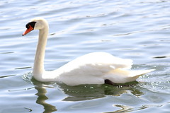 Mute Swan (RZaichkowski) Tags: toronto birds swan highpark april 2016 grenadierpond canonrebelt5