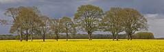 Tree Circle Panorama (explore) (Chris Mullineux) Tags: trees tree circle woods rape oxfordshire middletonstoney