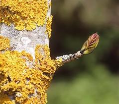 Spring (Zenas M) Tags: tree spring lichen bud silverbirch waterfordheath