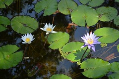Water lillies (davenjahtisan) Tags: mckee nature garden botanical pond florida lilly lillies waterfeature waterlillies waterlilly verobeach mckeegardens indianrivercounty mckeebotanicalgardens