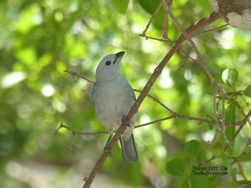Blue-gray Tanager - Anton Valley, Panama
