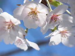 (nofrills) Tags: flowers blue light sky flower floral japan cherry spring flora blossom blossoms  cherryblossom cherryblossoms