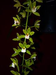 Cymbidium Orchid Conference 'Tamiko' 1-2 hybrid orchid (nolehace) Tags: cymbidium orchid conference tamiko 12 hybrid 316 winter nolehace fz35 flower bloom plant sanfrancisco