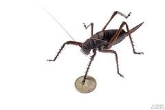 Spiny lobster katydid (Panoploscelis specularis) (ggallice) Tags: southamerica giant ecuador amazon rainforest selva tettigoniidae saltamontes spinylobsterkatydid amazona yasuninationalpark tiputinibiodiversitystation parquenacionalyasun panoploscelisspecularis spinylobstercricket