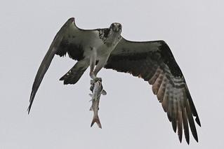 Osprey Inflight with Fresh Catfish