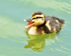 Quack (dina j) Tags: bird duck florida wildlife mallard floridawildlife babyduck floridabirds