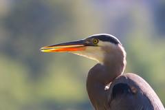 SammParkJun15 (4 of 6) (triforfun) Tags: park wild lake bird heron nature water grey state wing beak feather issaquah sammamish