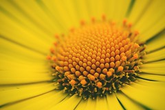 Her little world (Pavel Cervenka Photographer) Tags: plant abstract flower detail macro texture nature beautiful yellow closeup contrast canon wonderful nice colorful pattern republic czech bright awesome 11 organic lovely minimalism catchy pavel cervenka 60d efs60f28macro