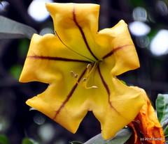 DSC_0505 (rachidH) Tags: flowers nepal nature vines lily blossoms kathmandu blooms solandramaxima chalicevine cupofgoldvine hawaiianlily goldenchalicevine rachidh solandragante