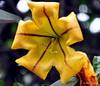 DSC_0505 (RachidH) Tags: flowers nepal nature vines lily blossoms kathmandu blooms solandramaxima chalicevine cupofgoldvine hawaiianlily goldenchalicevine rachidh solandragéante